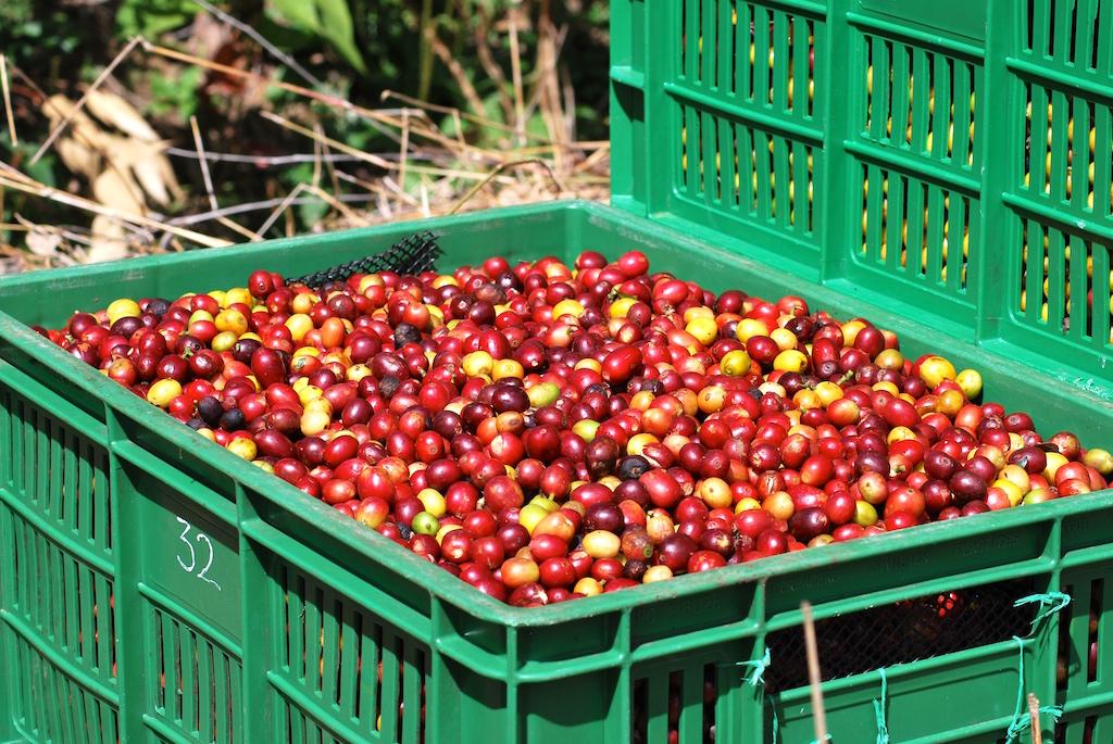(foto: Variedades de café en la Hacienda SupracaféColombia)